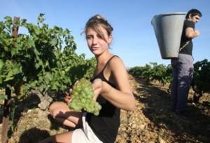 Les-vendanges-ont-commence-en-France_article_main_large